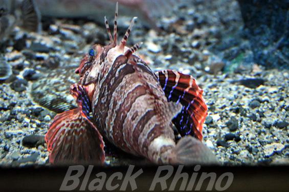 セトミノカサゴ03 東海大学海洋科学博物館