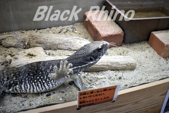 サバンナオオトカゲ02 しろとり動物園