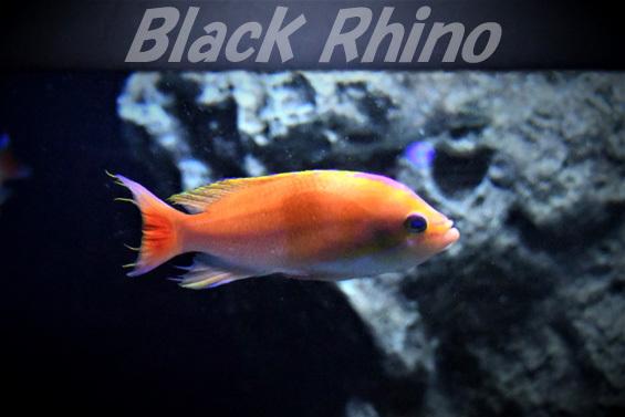 イトヒキコハクハナダイ01 美ら海水族館