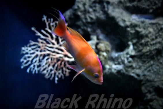 イトヒキコハクハナダイ02 美ら海水族館