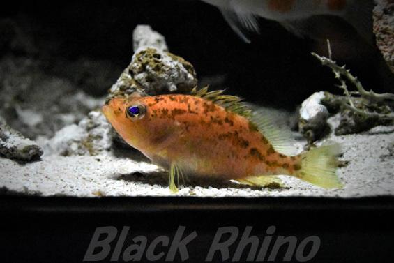チュラシマハナダイ01 美ら海水族館