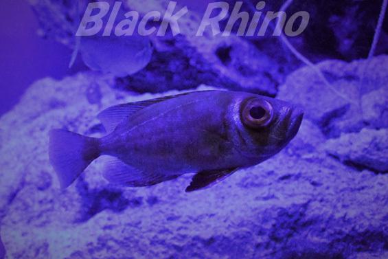 ミナミキントキ01 美ら海水族館