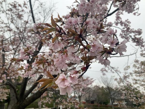 00 0331桜