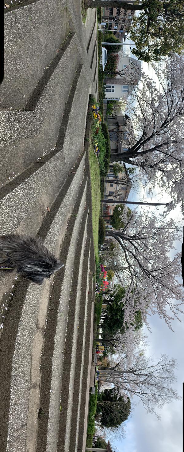 01  桜パノラマ