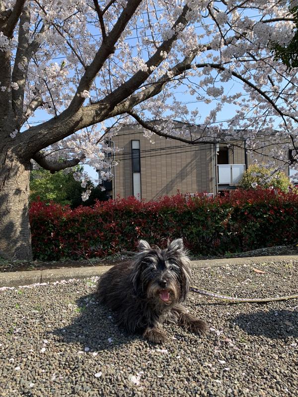 01神社桜