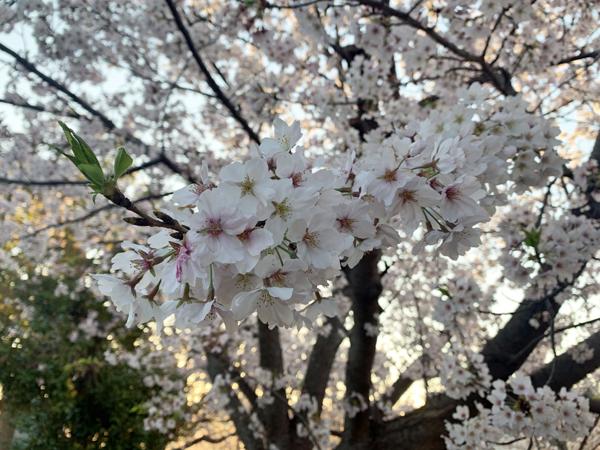 09桜0406