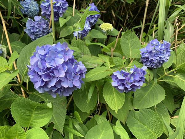 07紫陽花