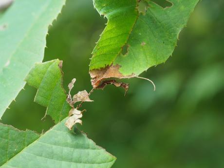 スミナガシ幼虫2