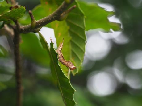 マエキカギバ幼虫&ナカキシャチホコ幼虫