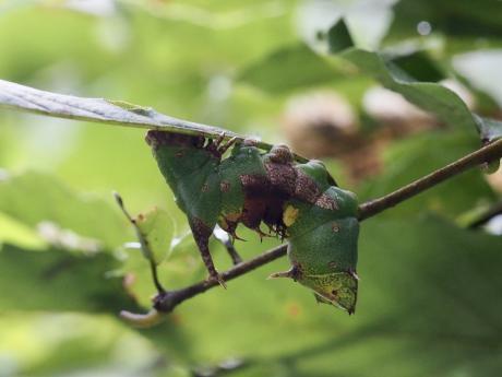 ギンシャチホコ幼虫