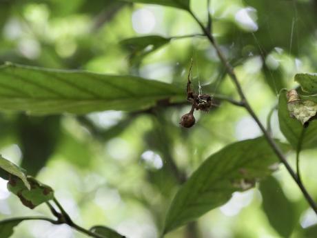 イセキグモ卵嚢&アオイラガ交尾