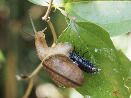 ヒダリマキマイマイ&マイマイカブリ幼虫か