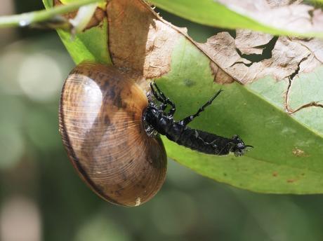 ヒダリマキマイマイ&マイマイカブリ幼虫か2