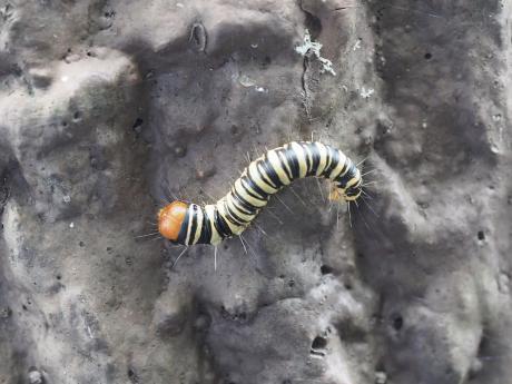 オオフトメイガ幼虫