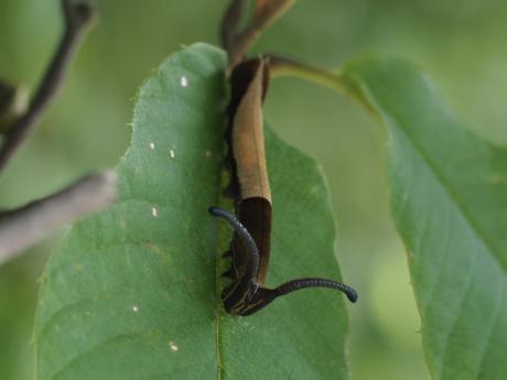 スミナガシ幼虫3