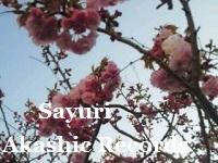 アカシックレコードリーディング アカシックレコードリーダーさゆり 八重桜咲いてきました♪