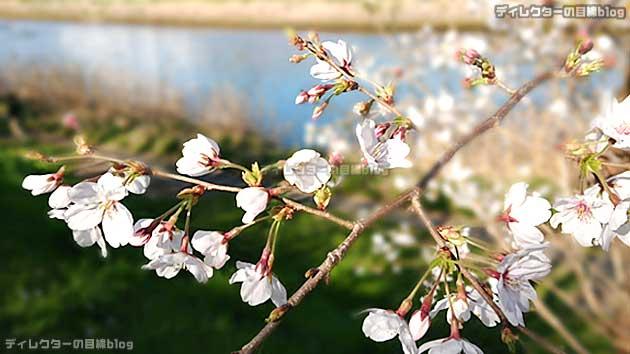 コロナ危機と自粛疲れに、写真で少しでも春を… 青空 桜 土筆 菜の花を届けます!