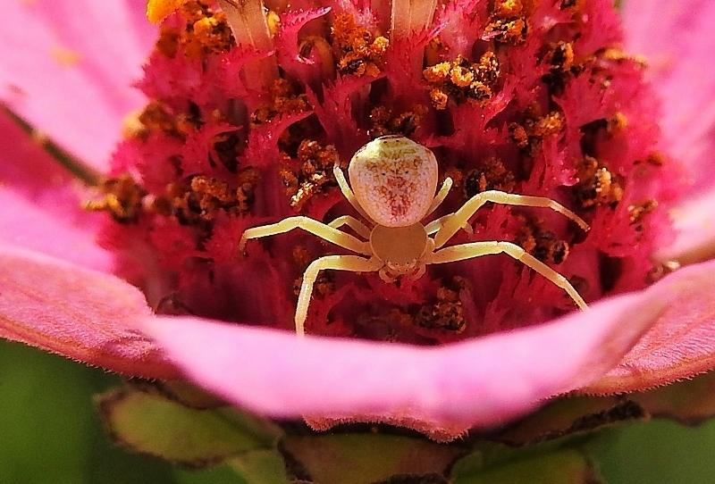ハナグモ(花蜘蛛) - トッコス爺の身近な花・虫・鳥 撮り