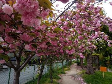 1 牡丹桜  200423