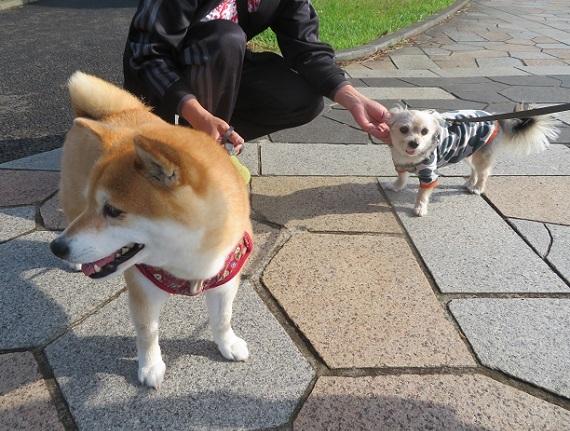 6E02 メイちゃん 柴犬8才 0517
