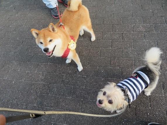 1M01 メイちゃん 柴犬8才0807 0817