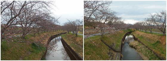 200328鹿化川のサクラ