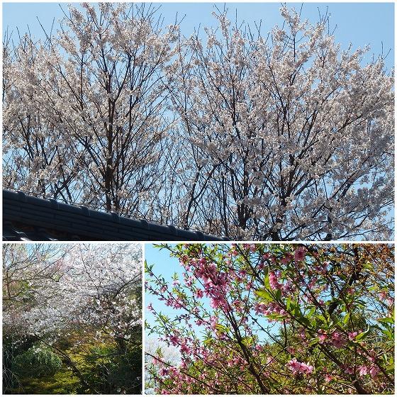 200329散歩道の桜と花桃