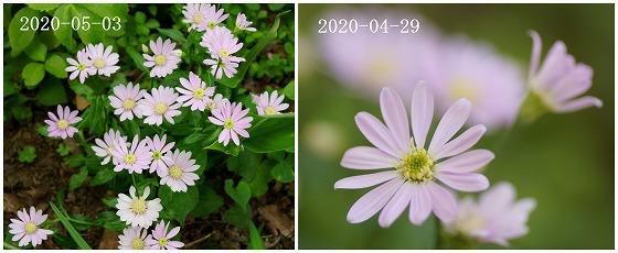 200429-0503ミヤコワスレdate