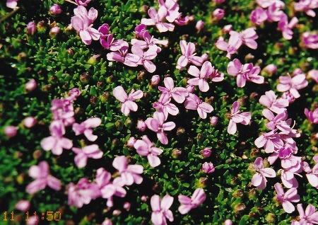 060711レンクフルーの花-2