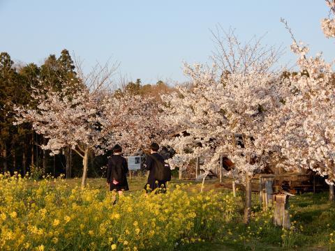 万本桜令和D