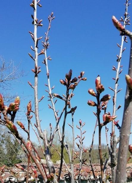 cerisiers Spoy2 (3)