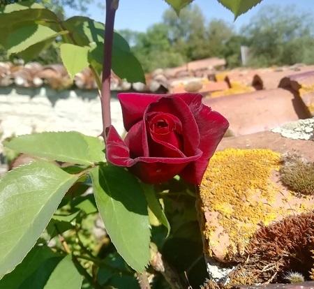 田舎のバラ