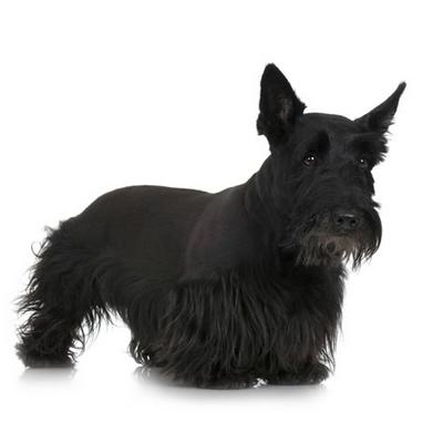 chien ecossais
