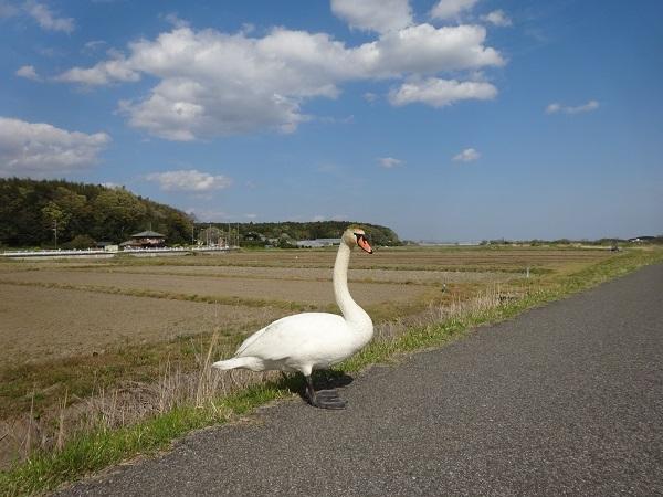 200411お散歩手賀沼 (4)