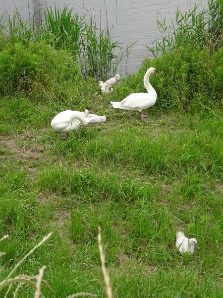 200606印旛沼と小貝川 (3)