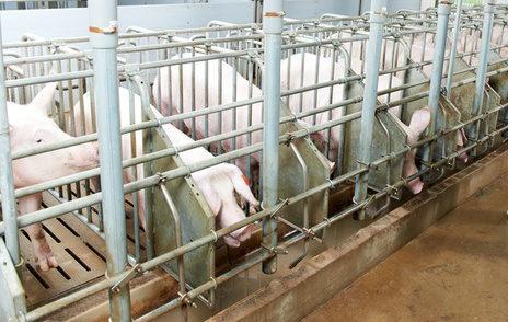 豚妊娠ストール画像1