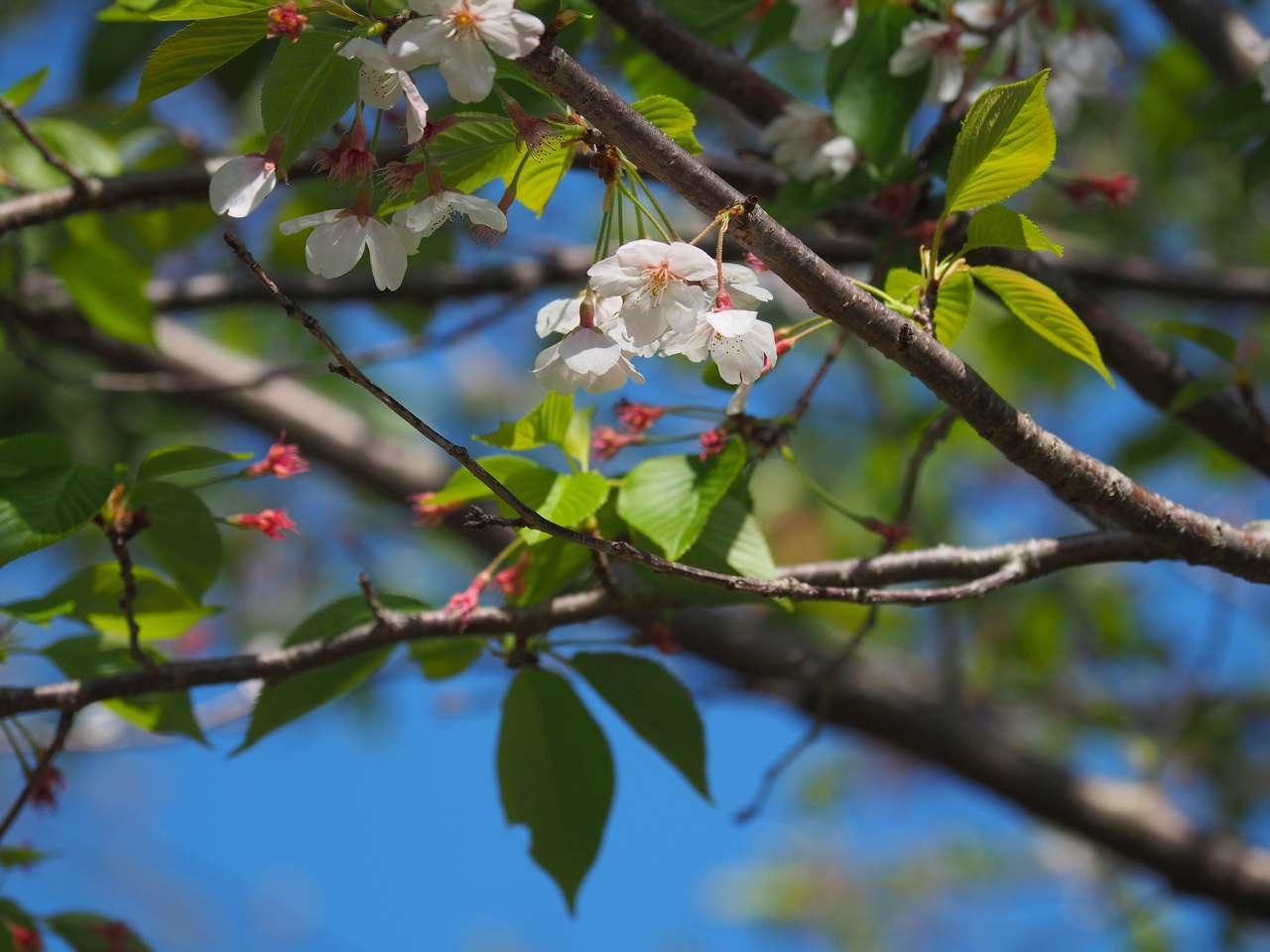 残り桜 2020年4月