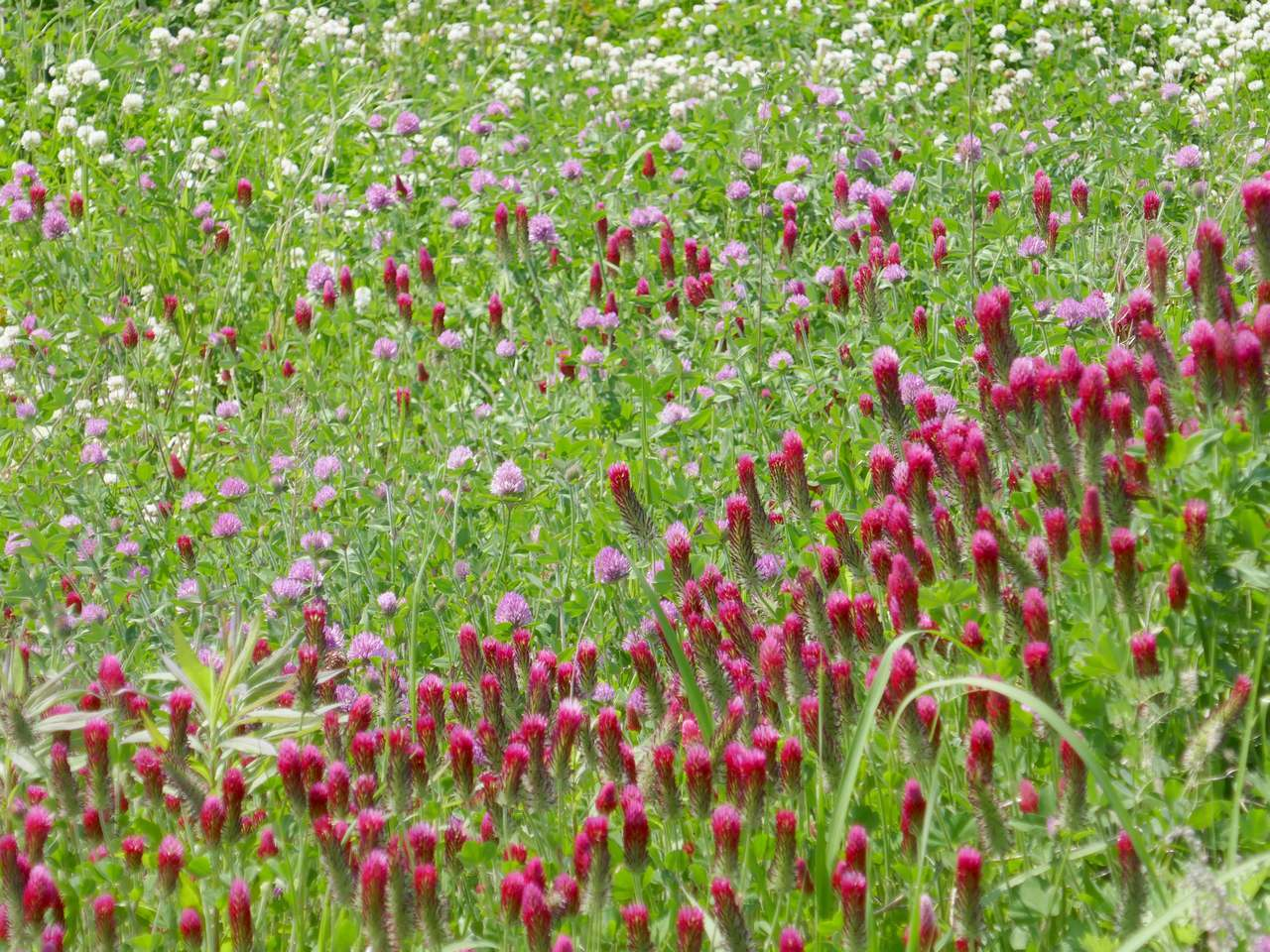 シロツメクサとアカツメクサとなんかよーわからん赤い草