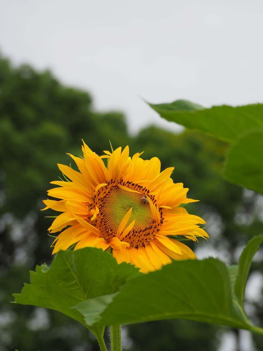 夏告げるヒマワリ2020年6月植物園
