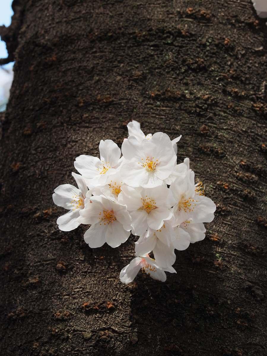 幹桜2020年3月