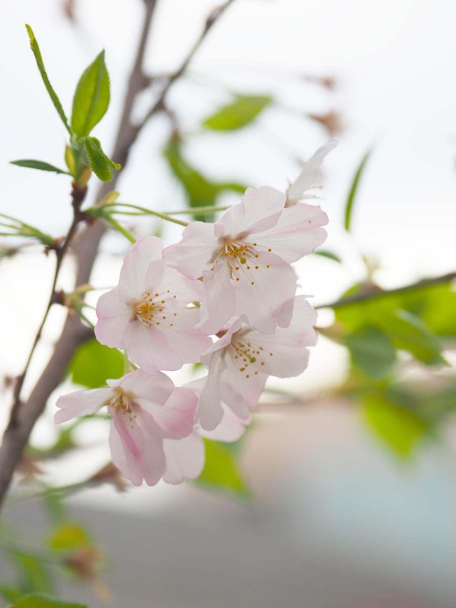 ジンダイアケボノ桜