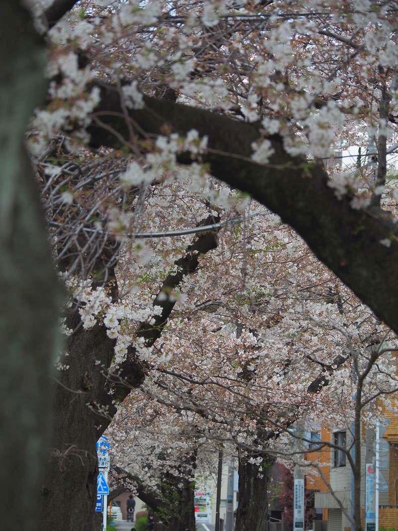桜並木2020年3月