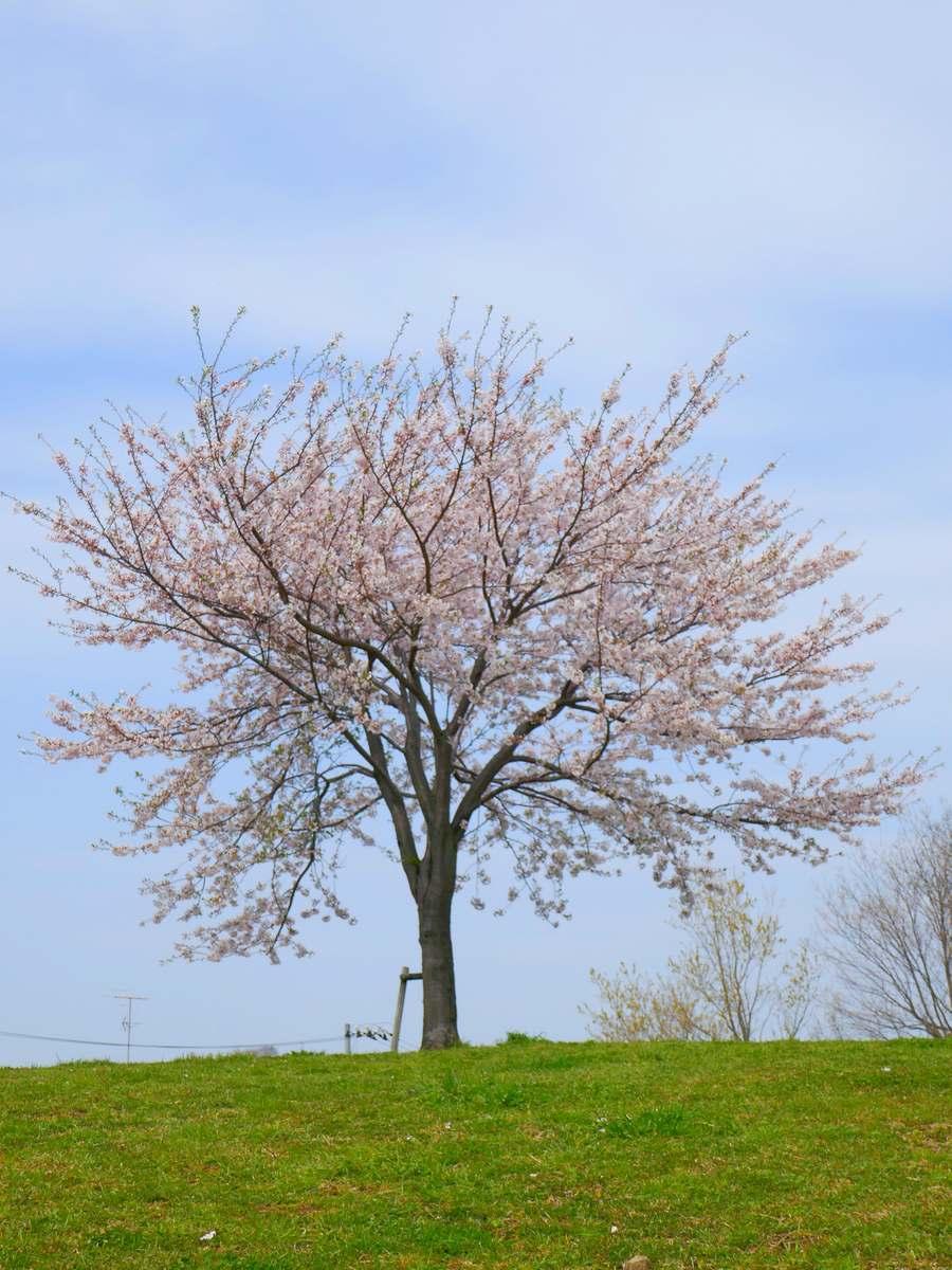 桜2020 丘の上