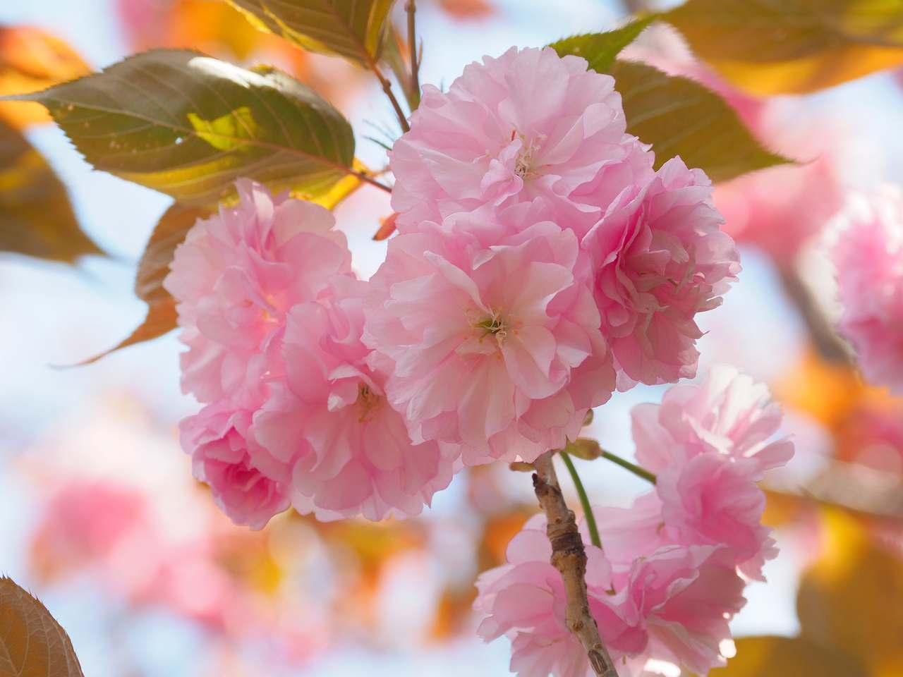 八重桜2020年4月