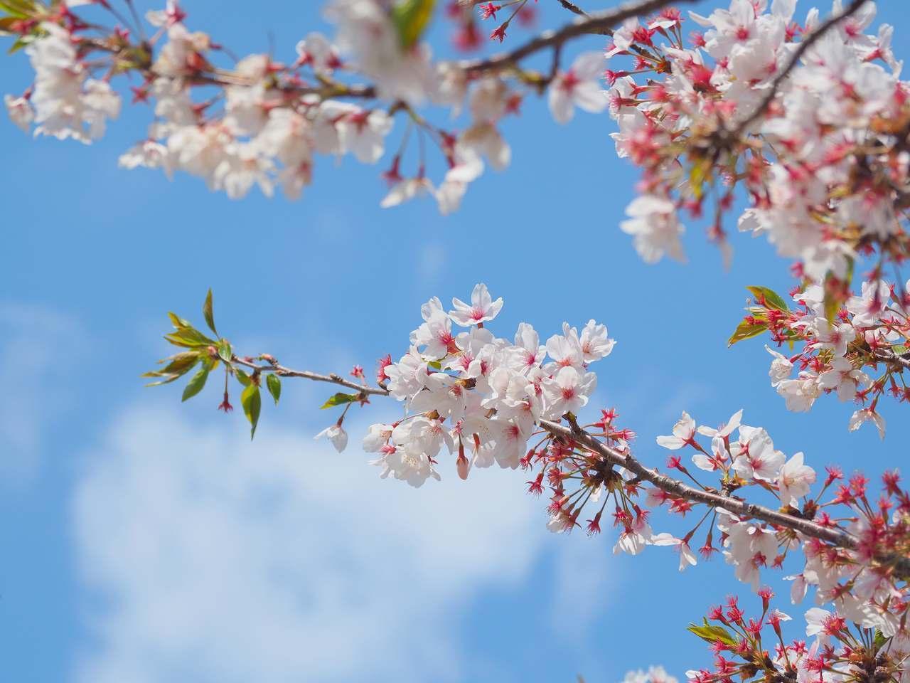 散り際の桜2020年4月