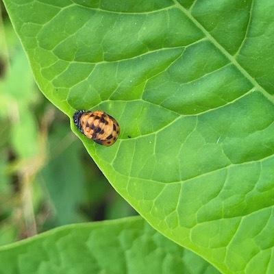 紫陽花とテントウムシ蛹