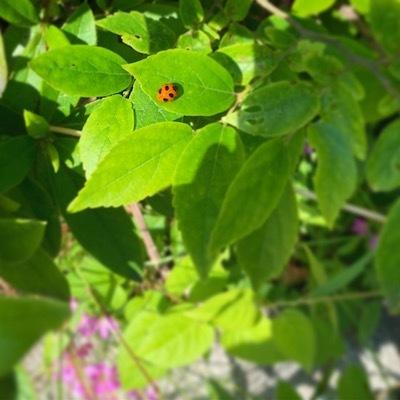 紫陽花とテントウムシ天道虫5