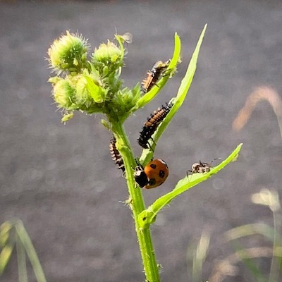 紫陽花とテントウムシ幼虫と成虫