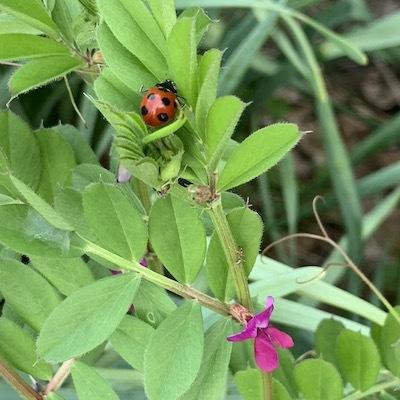 紫陽花とテントウムシ天道虫2