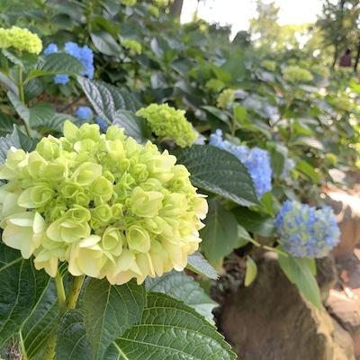 紫陽花とテントウムシ紫陽花3
